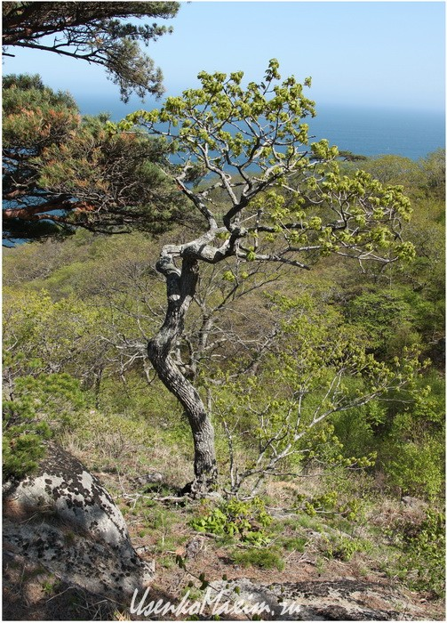 Полуостров Гамова. Деревья здесь невысокие с причудливыми формами