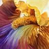 Hudozhnitsa-Marney-Ward.-Akvarel-Iridescent-Iris.-21x29-dyuymov