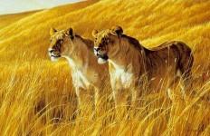 Robert Bateman. Анималистическая живопись. Львы