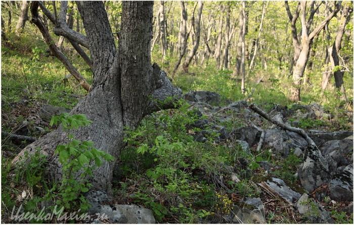 Полуостров Гамова. Вот такой легкопроходимый лес