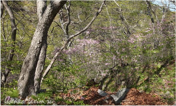 Полуостров Гамова. Повсюду в майском лесу растет родендрон