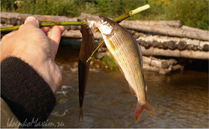 Река Каменушка. Накормил проезжий рыбак. За 15 минут поймал рядом