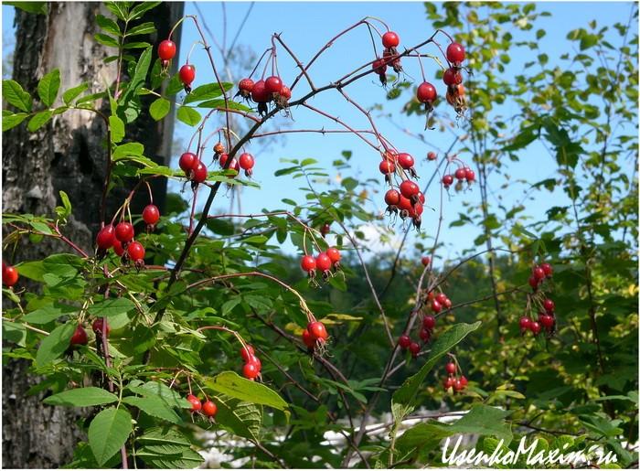 Шиповник растет в огромных количествах вдоль реки Герби