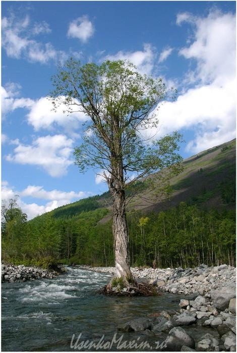 Устоявшее дерево в потоке реки Омот-Макит