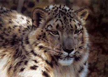 Анималистика Carl Brenders. Снежный леопард. Акварель