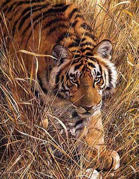 Анималистика Carl Brenders. Высокие травы тигра. Акварель