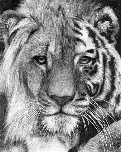 Lisandro-Pena.-Risunok-karandashom.-TIGER-LION-HYBRID
