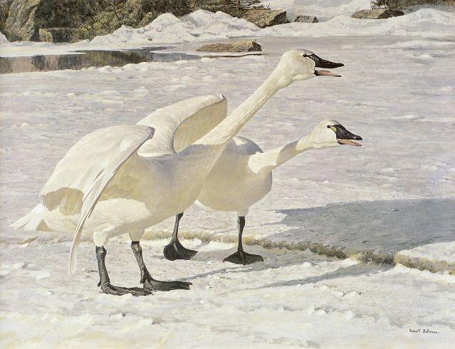 Robert Bateman. Анималистическая живопись. Лебеди