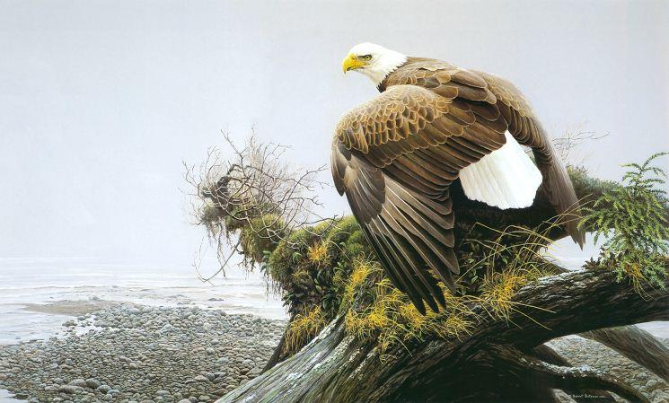 Robert Bateman. Анималистическая живопись. Орел 2